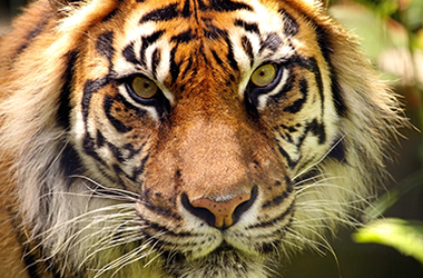 home page international tiger project
