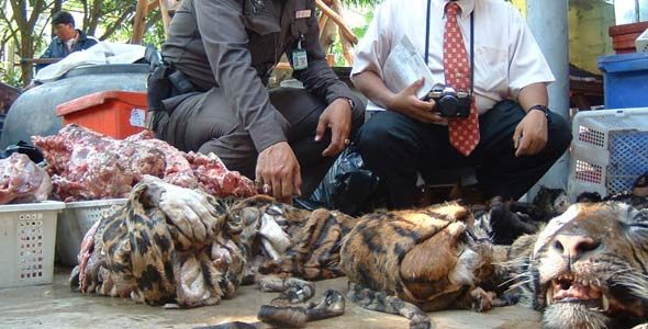 Poaching of tigers